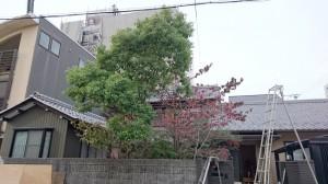 庭木の剪定前1